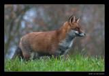 6519 fox
