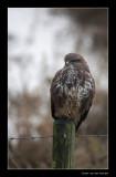 7028 buzzard with cold feet