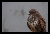 7257 buzzard