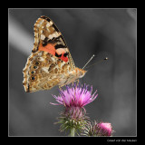 5941 painted lady