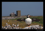 3025 puffin, Farne islands
