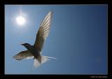 4071 flying arctic tern
