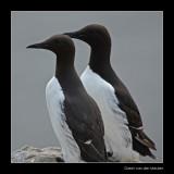 0351 guillemots, Farne Islands