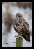 7162 dancing buzzard