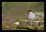 9567 arctic tern, Farne Islands