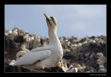 1737 gannet on Bass Rock