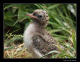 0451 arctic tern chick, Farne Islands