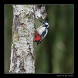 5585 great spotted woodpecker
