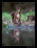 5850 standing red squirrel