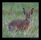 0650 young hare in morning dew