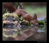 5851 drinking red squirrel
