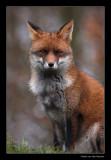 6497 fox