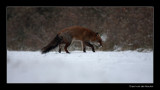 7962 fox in snow