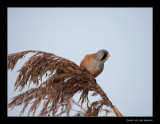 9229 bearded tit