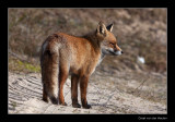 0260 fox