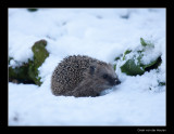 0949 hedgehog in snow