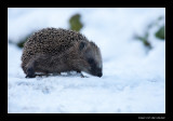 0809 hedgehog in snow