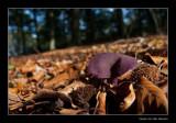 9132 amathist deceiver in beech forest