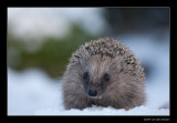 0638 hedgehog in snow