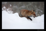 2071 fox stepping over snow ridge