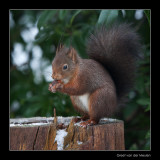 5656 red squirrel
