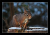 5920 red squirrel