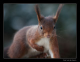 7293 red squirrel