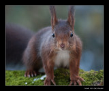 8078 red squirrel