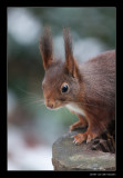 6777 red squirrel