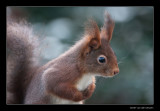 6428 red squirrel
