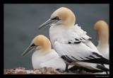 5046 gannets, Helgoland