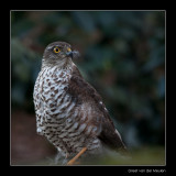 4312 sparrowhawk