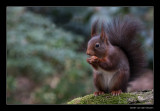 5040 red squirrel