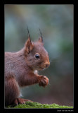 5624 red squirrel with wet tufts