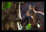 6079 red squirrel