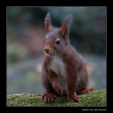 6548 red squirrel
