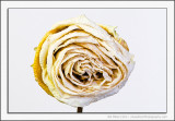 Wilting Rose 2