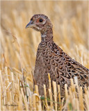 Ring-necked Pheasant  (young bird)