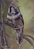 Northern Hawk Owl  with Vole
