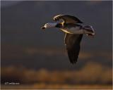 Snow Goose/Blue Goose