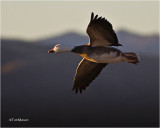 Snow Goose / Blue Goose