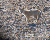 (backlit) Coyote pup