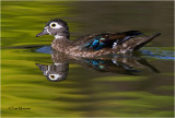 Wood Duck (hen)