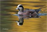 American Wigeon  (drake)