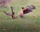 Northern Harrier's