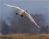 Trumpeter  Swan ??