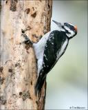 Hairy Woodpecker (male)