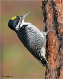 Black-backed Woodpecker  (male)