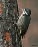 Black-backed Woodpecker  (female)