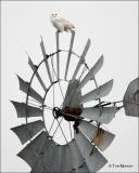 Snowy Owl  (big windmill)
